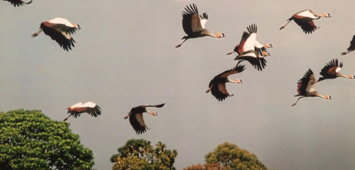 Crowned Cranes over Kipsaina